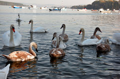 Group of white swans Royalty Free Stock Image