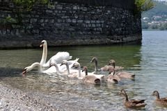 Group of white swans and young cubes swimming along the lakeshore. royalty free stock photo