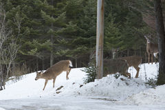 Group of white-tailed deer in private yard, Rangelely, Maine. Royalty Free Stock Image