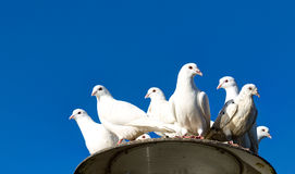 Group of white tame pigeons. Lithuania Stock Photos