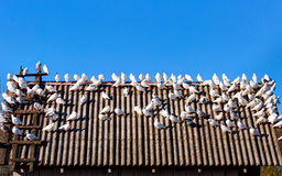 Group of white tame pigeons. Lithuania Stock Photo