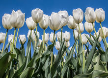Group of white tulips against a blue sky Royalty Free Stock Image