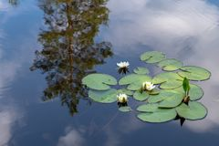 Group of white water lilies floating in blue water. Beautiful white water lilies floating in calm blue water with a tree and the sky reflecting like a mirror in royalty free stock photo
