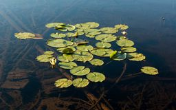 Group of white waterlily leaves floating Stock Photos