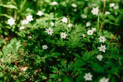 Group of white windflowers under the sun royalty free stock image