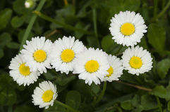 Group of white and yellow daisy flowers Stock Photos