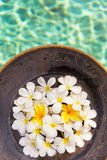 Group of white and yellow frangipani flowers on brown wooden pla. Te by the swimming pool side Royalty Free Stock Photography