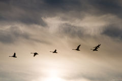 Group whooper swans heading to the north in flight Stock Image