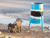 Group of wild adult warthog and baby animal show natural behavior eating street food by bending front leg on local street. Near blue and black color trash bin Royalty Free Stock Images