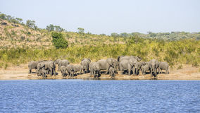 Group of wild african bush elephants, in Kruger park Stock Images