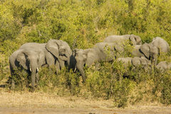 Group of wild african bush elephants, in Kruger park Royalty Free Stock Image