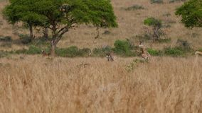 Group Of Wild African Giraffes Grazing Yellow Grass Of Savannah In Dry Season