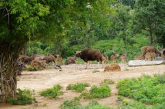 Group of wild animals. Wild bull and dear Royalty Free Stock Photography