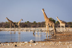Group of wild animals near a waterhole in the Etosha National Park, in Namibia. Concept for travel in Africa and safari Stock Image