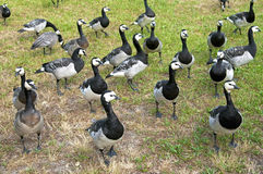 A group of wild barnacle geese in a park Stock Photo