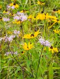 A Group of Wild Bergamot Wildflowers. A group of wild bergamot and black-eyed Susan wildflowers located in a field of the Blue Ridge Mountains, Virginia, USA stock photo