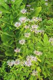 A Group of Wild Bergamot Wildflowers. A vertical view of group of wild bergamot wildflowers located in a field in the Blue Ridge Mountains of Virginia, USA royalty free stock photos