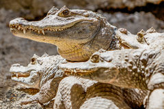 Group Of Wild Black Caimans Royalty Free Stock Photos