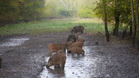 Group of wild boar Royalty Free Stock Photos