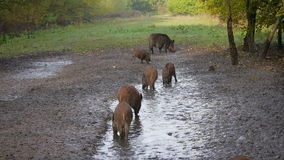 Group of wild boar Stock Image