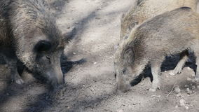 Group of wild boar eating stock video footage