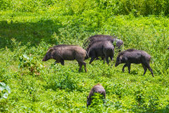 Group of Wild boar(Sus scrofa) Stock Image