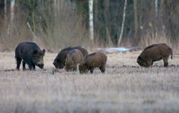 Group of wild boars in search of food on open ground in dusk evening royalty free stock photos