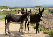 Group of wild burros Stock Image