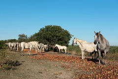 Group of wild Camargue horses against blue sky Royalty Free Stock Photos