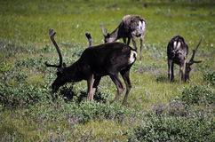 Group of wild Caribou Royalty Free Stock Photos