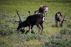 Group of wild Caribou Royalty Free Stock Photos