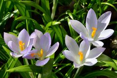 Group of wild Crocuses Royalty Free Stock Photography
