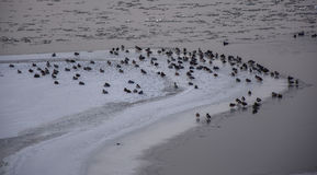 A group of wild duck. Chinese northeast of Songhua River in Jilin City, a group of perched on the ice of the wild duck Stock Photo