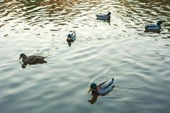 Group of wild ducks Anas platyrhynchos swimming along the lake on a warm autumn evening during sunset. Mallard duck on the autumn lake Stock Image
