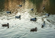 Group of wild ducks Anas platyrhynchos swimming along the lake on a warm autumn evening during sunset. Stock Image