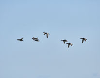 Group of wild ducks in flight Royalty Free Stock Image