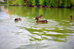 Group of wild ducks mallards in lake Royalty Free Stock Photography