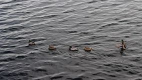 Wild ducks on the river. A group of wild ducks slowly floats along the river, one duck stops and spreads its wings stock video footage