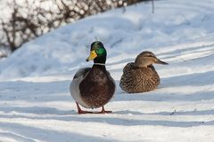 Group of ducks in forest. Group of wild ducks in snowy winter forest Royalty Free Stock Photography
