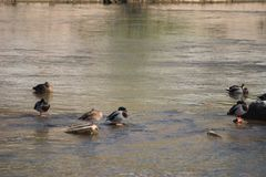 Duck group swimming in river royalty free stock images