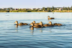 A group of wild ducks swims along a blue pond, a selective focus Royalty Free Stock Images