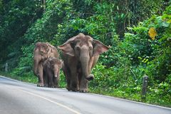 Group of wild elephant Royalty Free Stock Images
