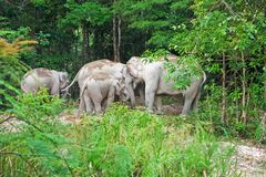 Group of wild elephant Royalty Free Stock Photography