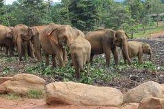 Group of Wild Elephant Stock Image
