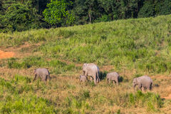 Group of Wild Elephant walking to salt lick Stock Images