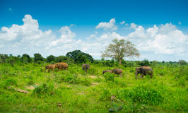 Group of wild elephants Royalty Free Stock Image
