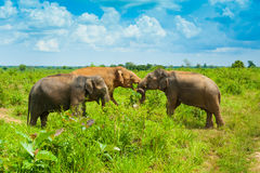 Group of wild elephants stock images