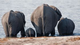 Group of wild elephants at a waterhole. Stock Photo