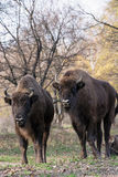 Group of wild European bison (Bison bonasus) in autumn deciduous Stock Photo