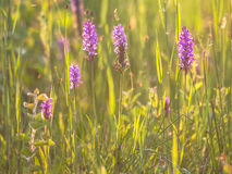 Group of Wild European Orchid in a Grass Field Stock Images